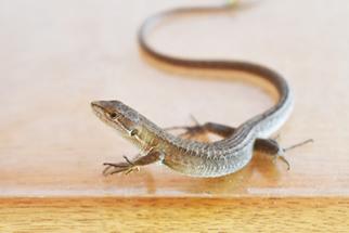 初めてのカナヘビ飼育
