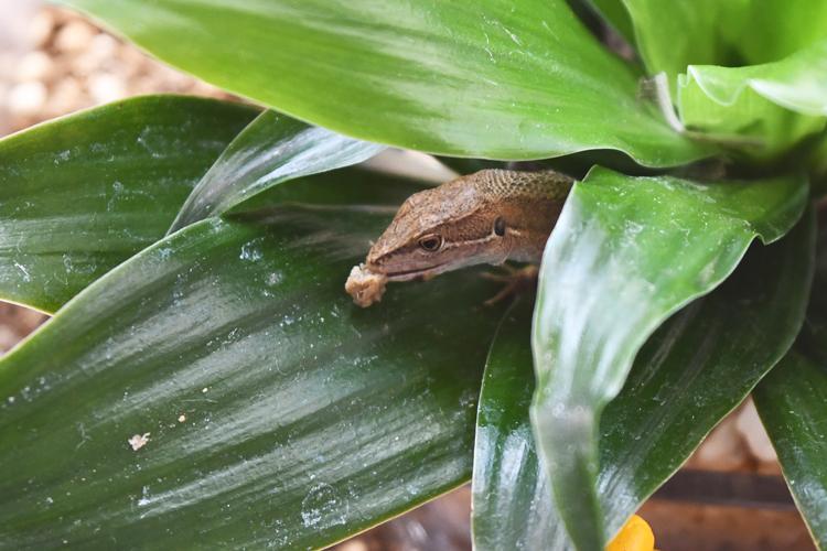 レオパブレンドフードを食べるカナヘビ