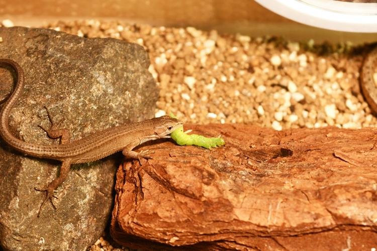 青虫を食べるカナヘビ