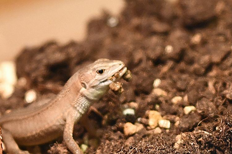 満足した子供のカナヘビ