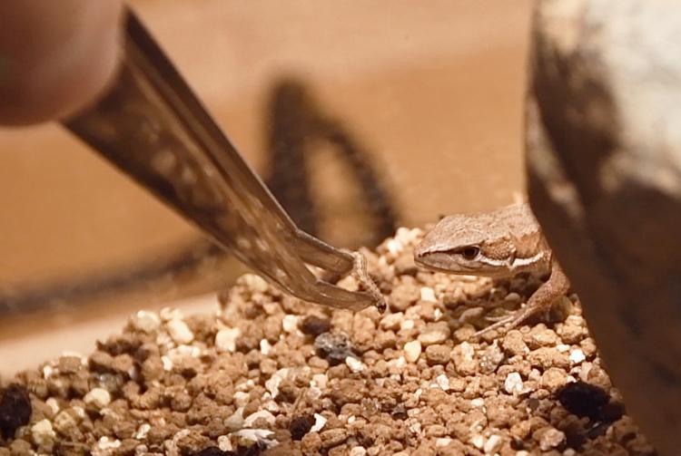 ハイマダラノメイガの幼虫を食べるカナヘビ