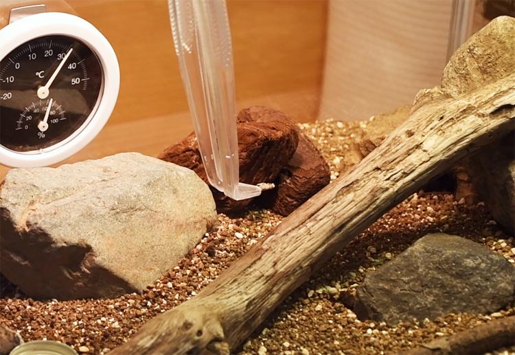 ピンセットでカナヘビにコオロギを与える