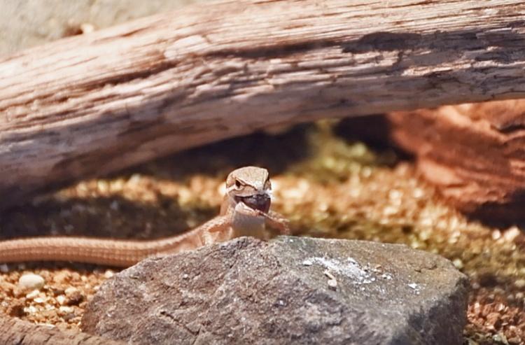 冷凍コオロギを食べるカナヘビ