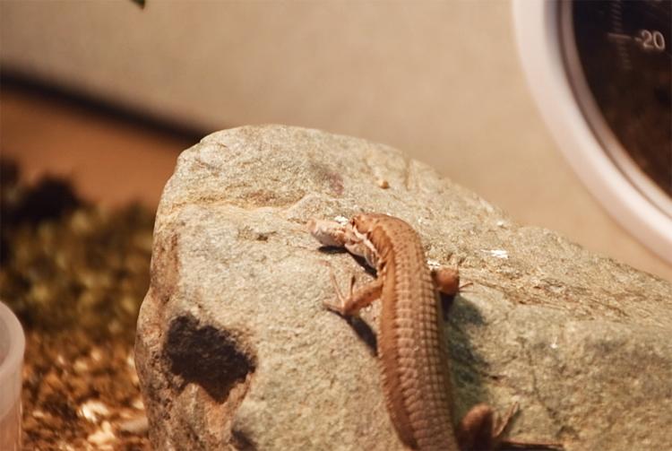 冷凍コオロギに食いつくカナヘビ