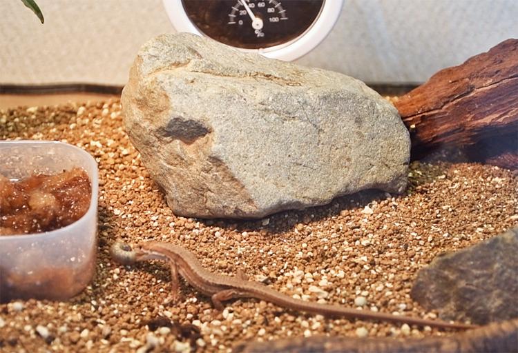 コガネムシの幼虫に食いつくカナヘビ
