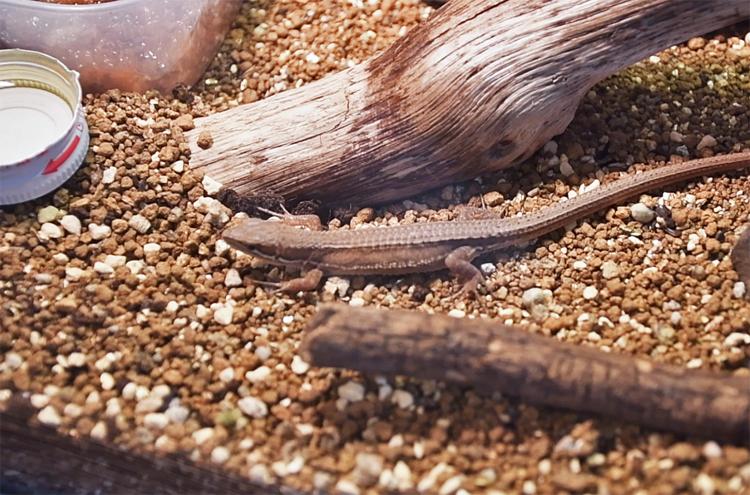 コガネムシの幼虫を食べたカナヘビ