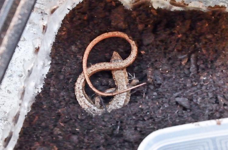 カナヘビ 冬眠