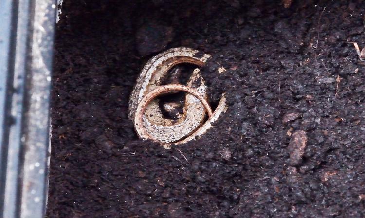 カナヘビの冬眠11日目