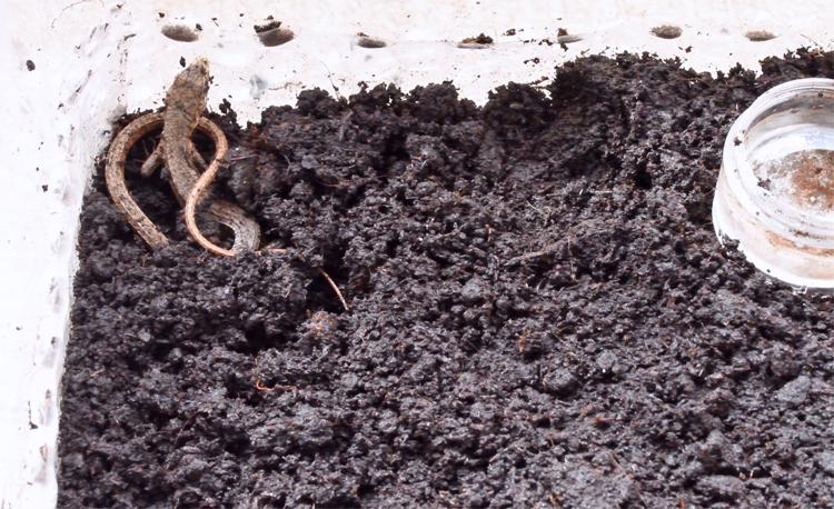 カナヘビが冬眠から目覚める瞬間
