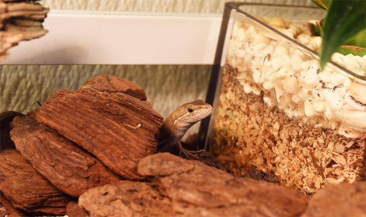 目を開けるようになったカナヘビ