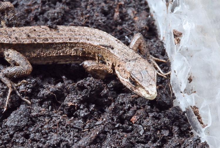冬眠から目覚めたカナヘビ
