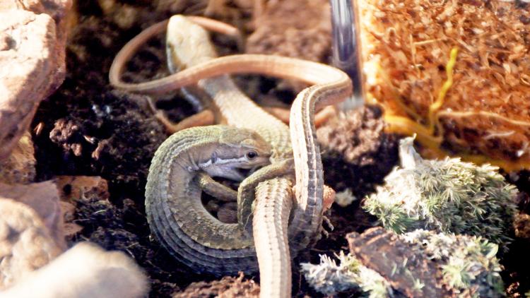カナヘビの交尾