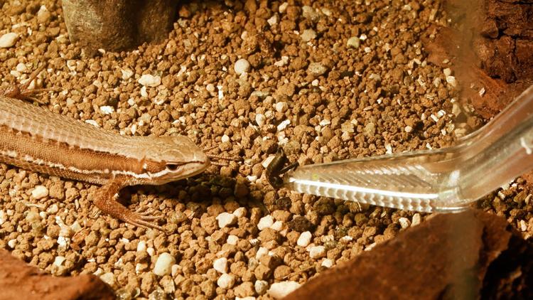 カナヘビとコオロギ