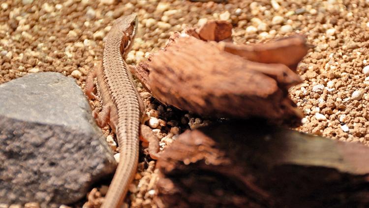 交尾から5日後の雌カナヘビ