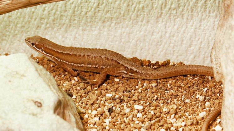 交尾から9日後の雌カナヘビ