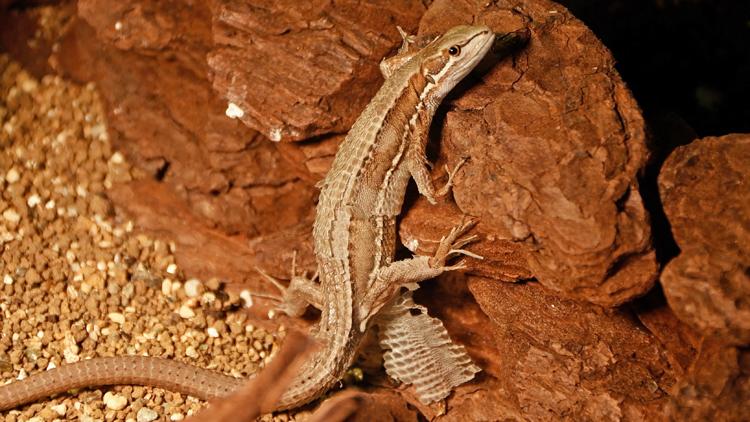 脱皮をする妊娠中のカナヘビ