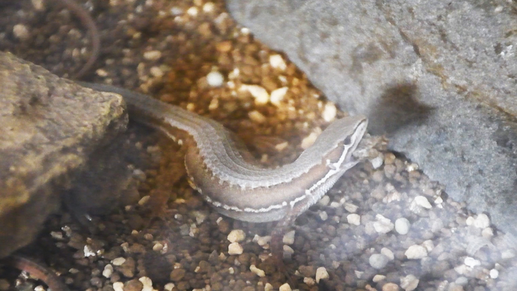 カナヘビの夜食
