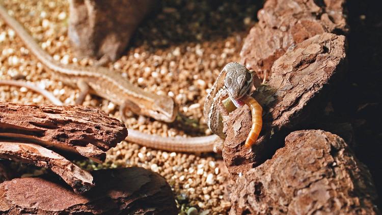 産卵後餌を食べるカナヘビ
