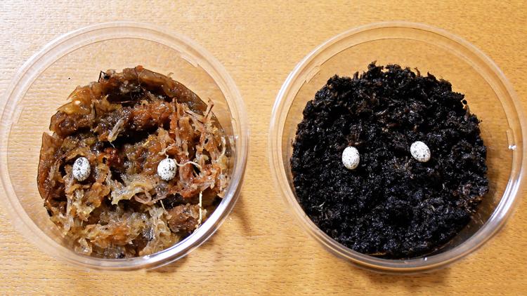 カナヘビの卵の保管方法
