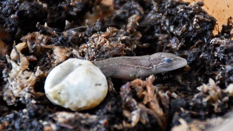 孵化するカナヘビ