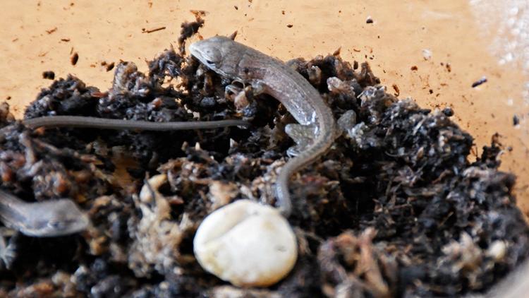生まれたてのカナヘビ