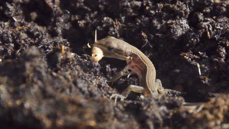 初めてコオロギを捕食するカナヘビの赤ちゃん